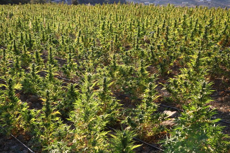como plantar marihuana en exterior marijuana tm