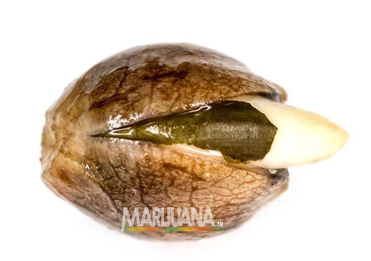 marijuana seed germinate