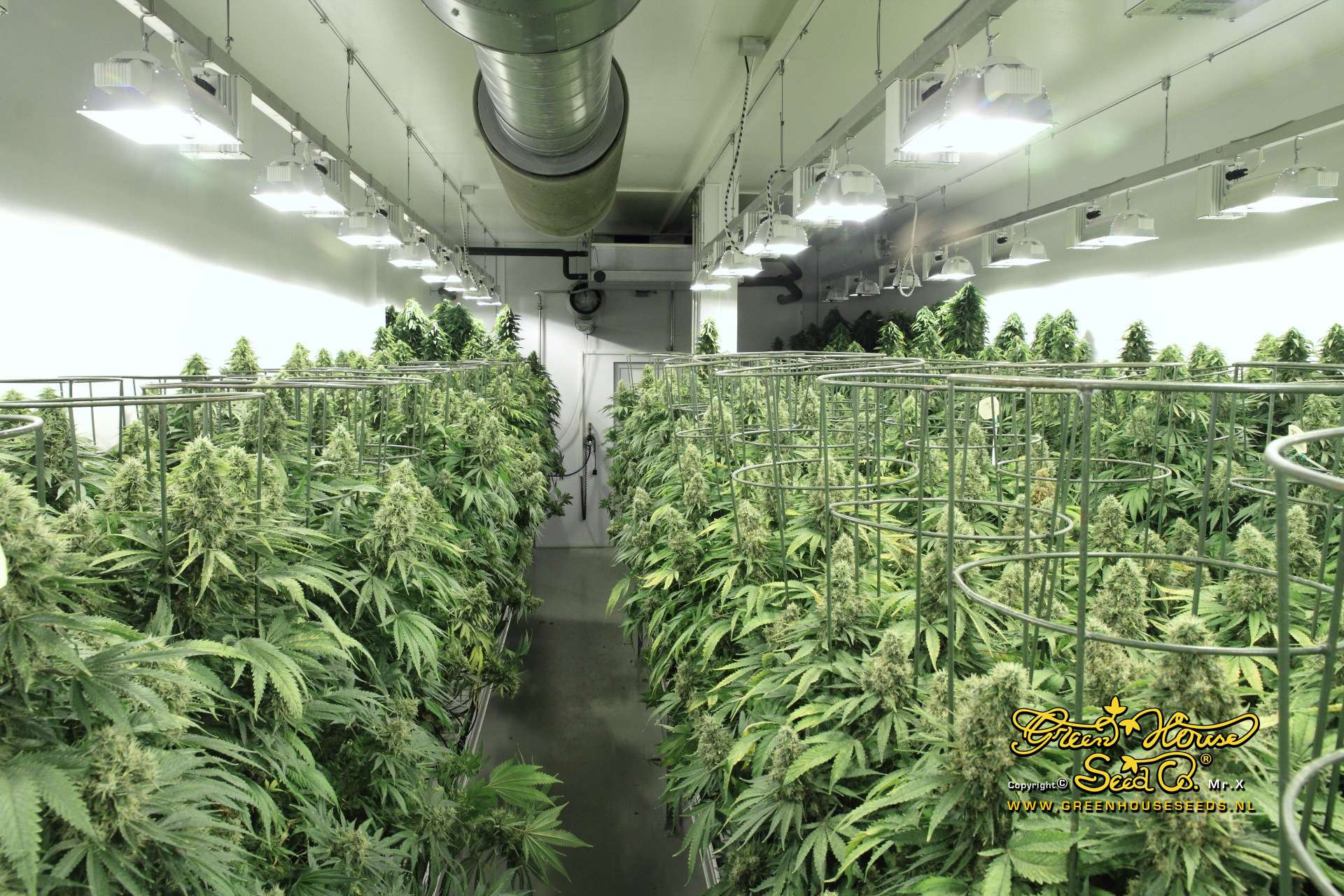 Hydroponic Weed Marijuana Tm Cannabis News