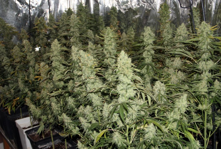 Did You Know Indoor Cannabis Cultivation?