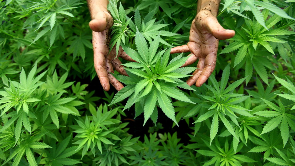 what is marijuana Cannabis (/ ˈ k æ n ə b ɪ s /) is a medical cannabis (or medical marijuana) refers to the use of cannabis and its constituent cannabinoids, to treat disease.