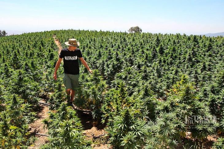 The Cannabis Aroma