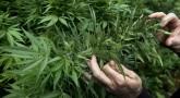 Marijuana Is Surely Too Good To Be Fighting Over