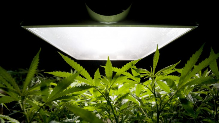 Growing Marijuana at Home: A Guide For First-Timers!