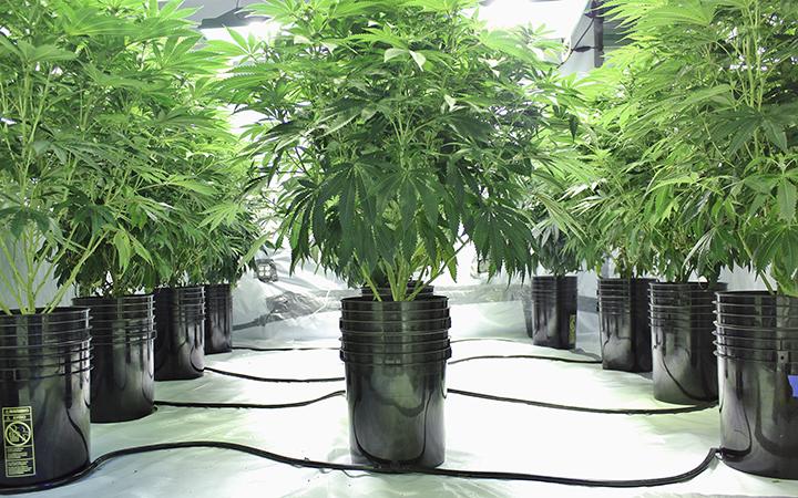 Deep Water Culture Technique in Growing Marijuana