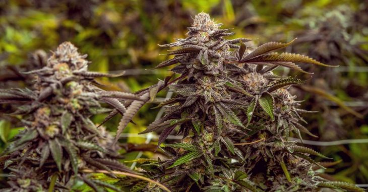 Indications your Marijuana Plants are Ready for Harvest