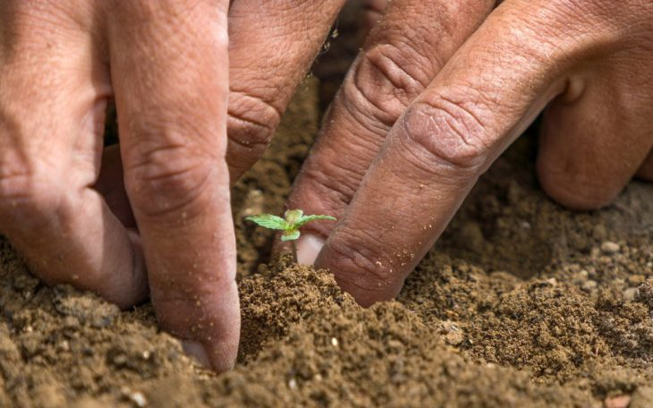 Possible Reasons why Cannabis Seeds Fail to Germinate