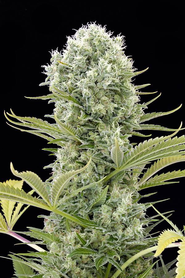 [cml_media_alt id='2602']what is the ph of water marijuana[/cml_media_alt]