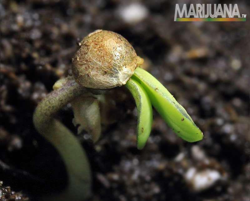 [cml_media_alt id='2540']germinate seeds[/cml_media_alt]