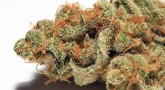history of white widow bud dry