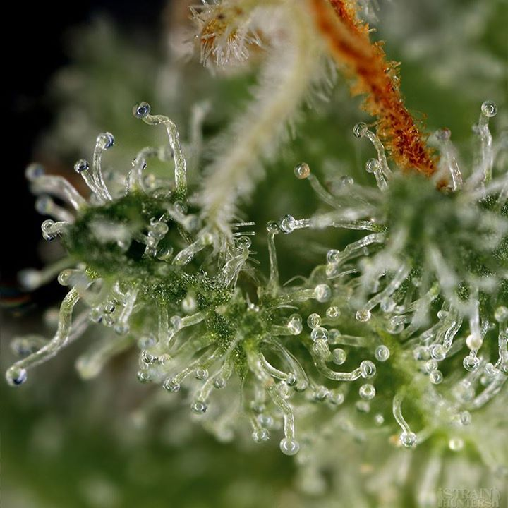 hash trichome