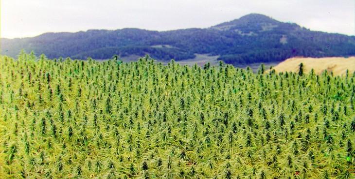 outdoor weed