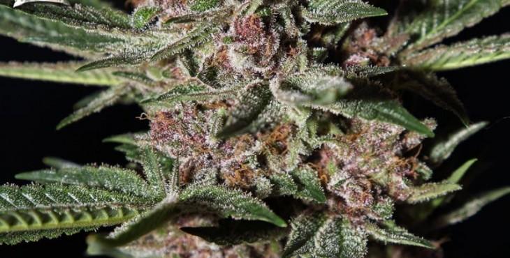 cannabis índica plant
