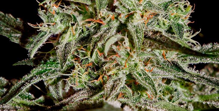 AMS marijuana