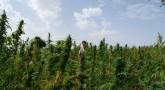 weed children