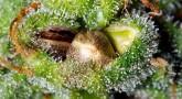 Super Lemon Haze Seeds