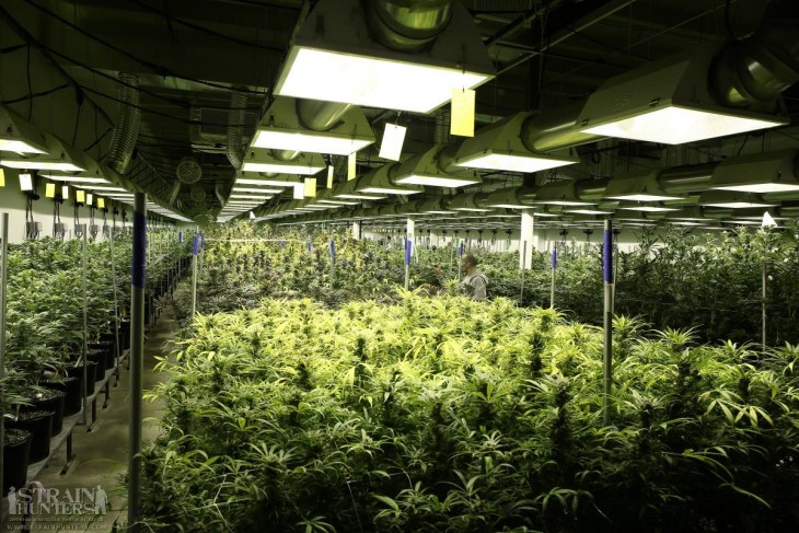 Marijuana Dream
