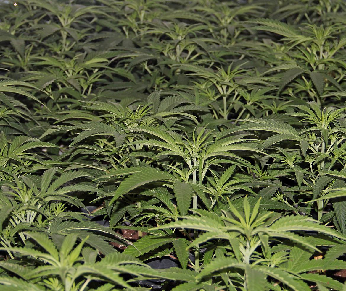 cannabis en crecimiento