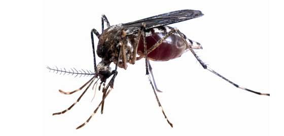 mosquito del sustrato