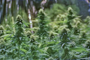 The Texas $900 million a year medical cannabis industry grows wings