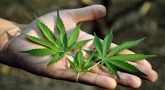 Is Cannabis the Next Big Drug for Cancer?