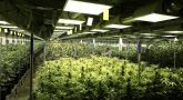 Tips in Selecting Cannabis Strain