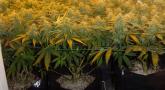 The SCROG Method For Cannabis Farming