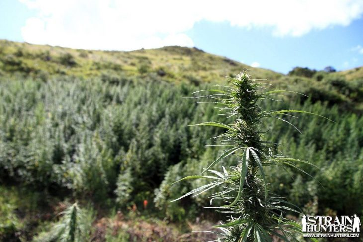 Useful Tips For Growing Cannabis Outside