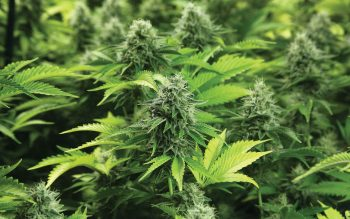 Important Steps to Follow for Growing Marijuana at Home