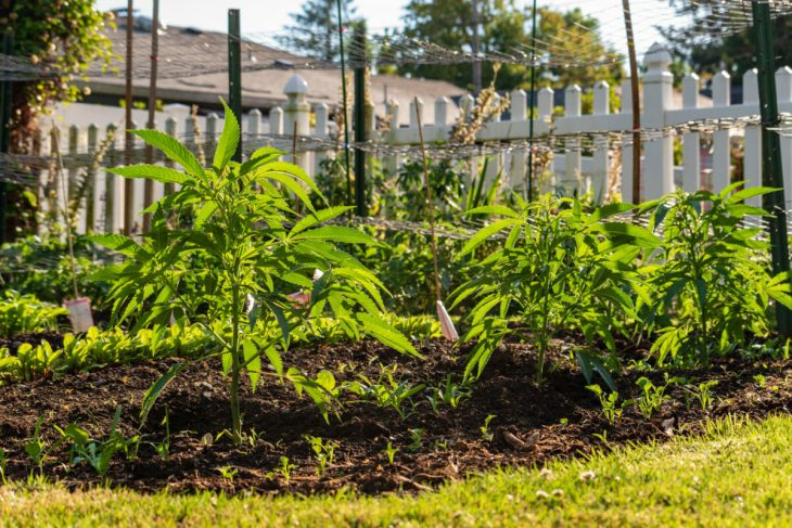 Growing marijuana in your own garden
