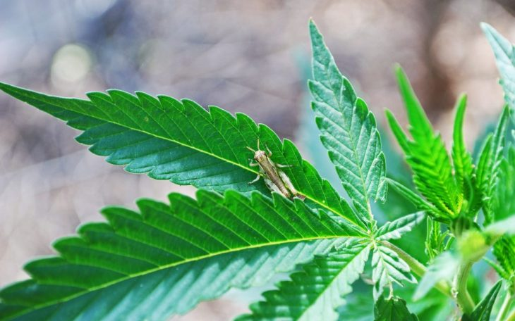 Natural Insect Repellents For MarijuanaCrops