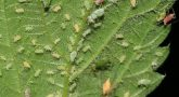 Aphids In Marijuana Crops: What Are They And How To Kills Them?