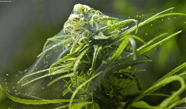 Red Spider Mites In Indoor Marijuana Crops: How To Remove Them