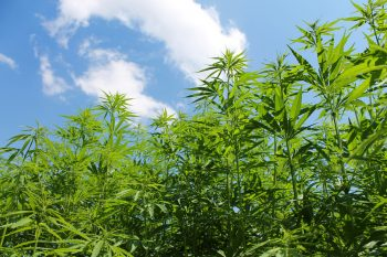 New Varieties Of Cannabis By The Netherlands In The Market