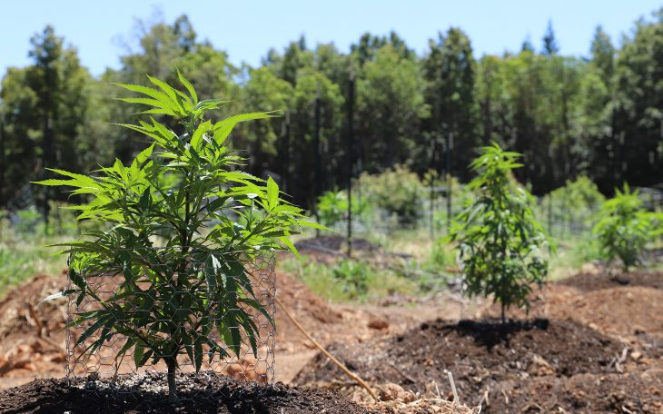 What Is The Best Time To Grow Cannabis Plant In Your Yard?